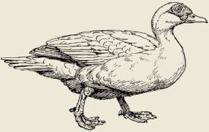Утка тушёная с черносливом