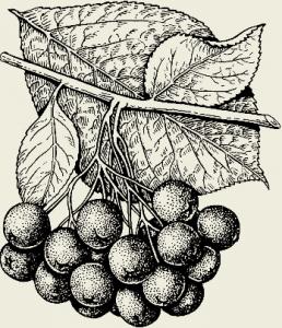 Квас из черноплодной рябины